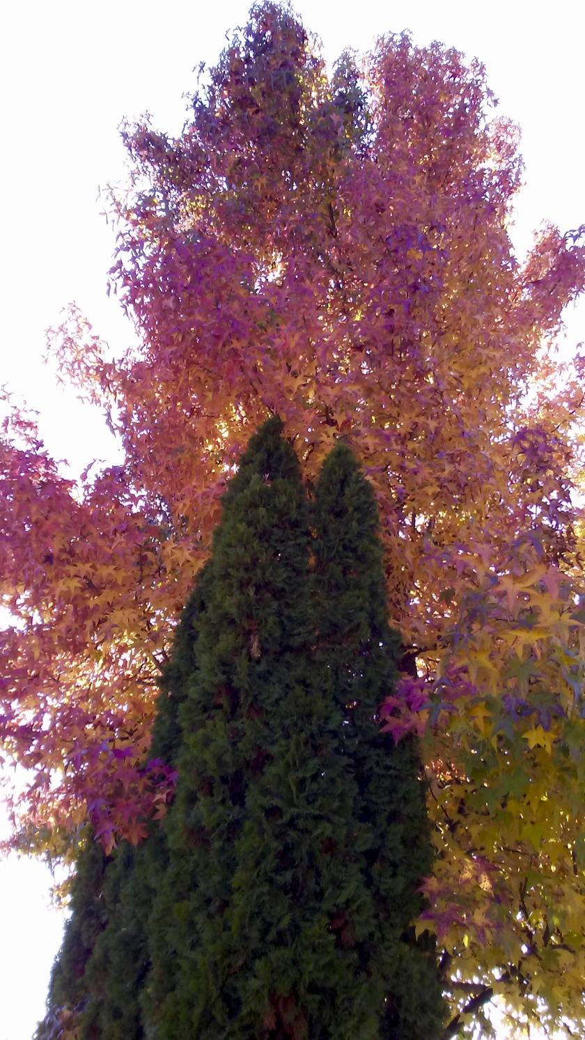 Two pines Hugged by pink leafy tree
