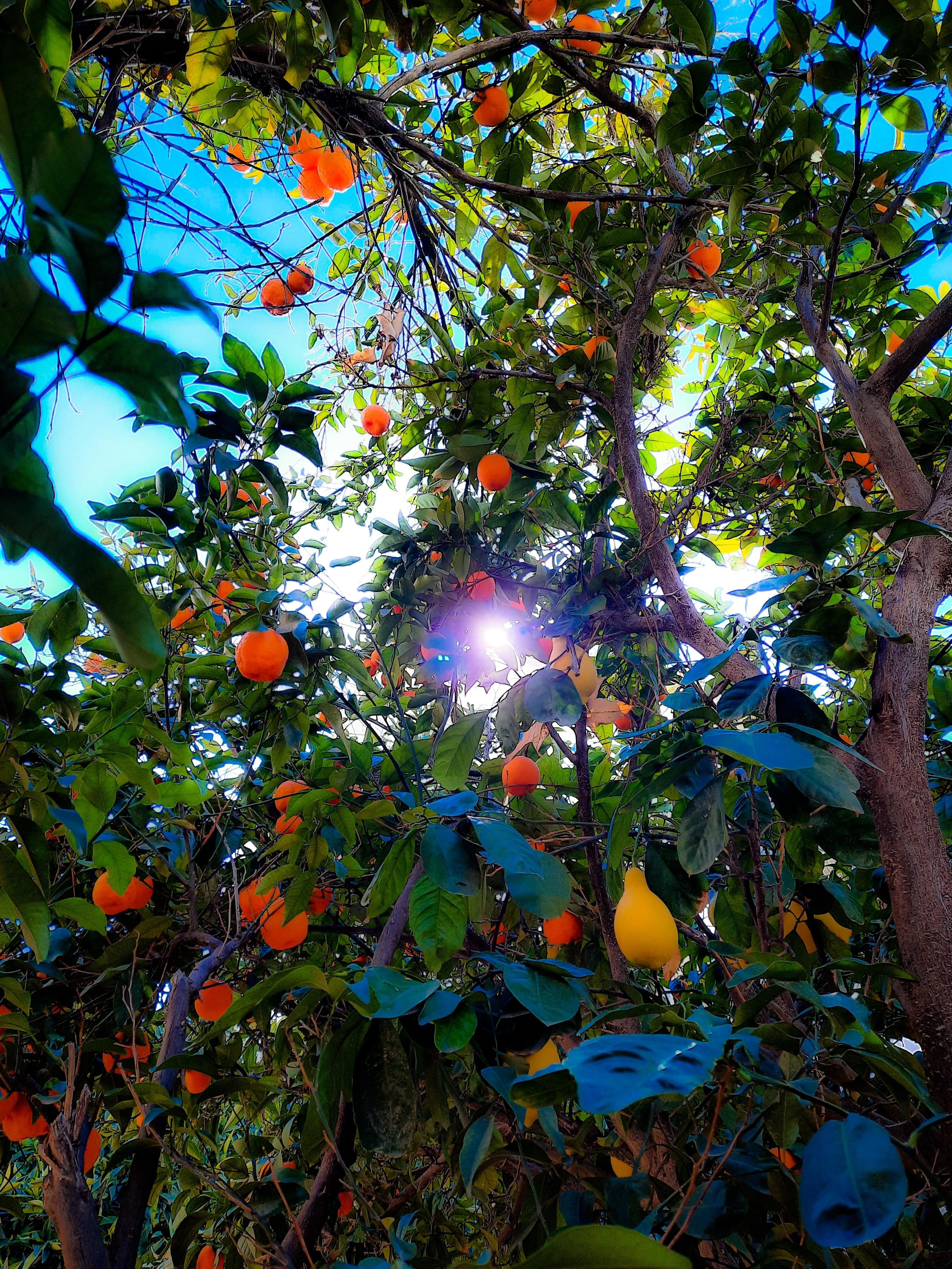 Iranian citrus tree